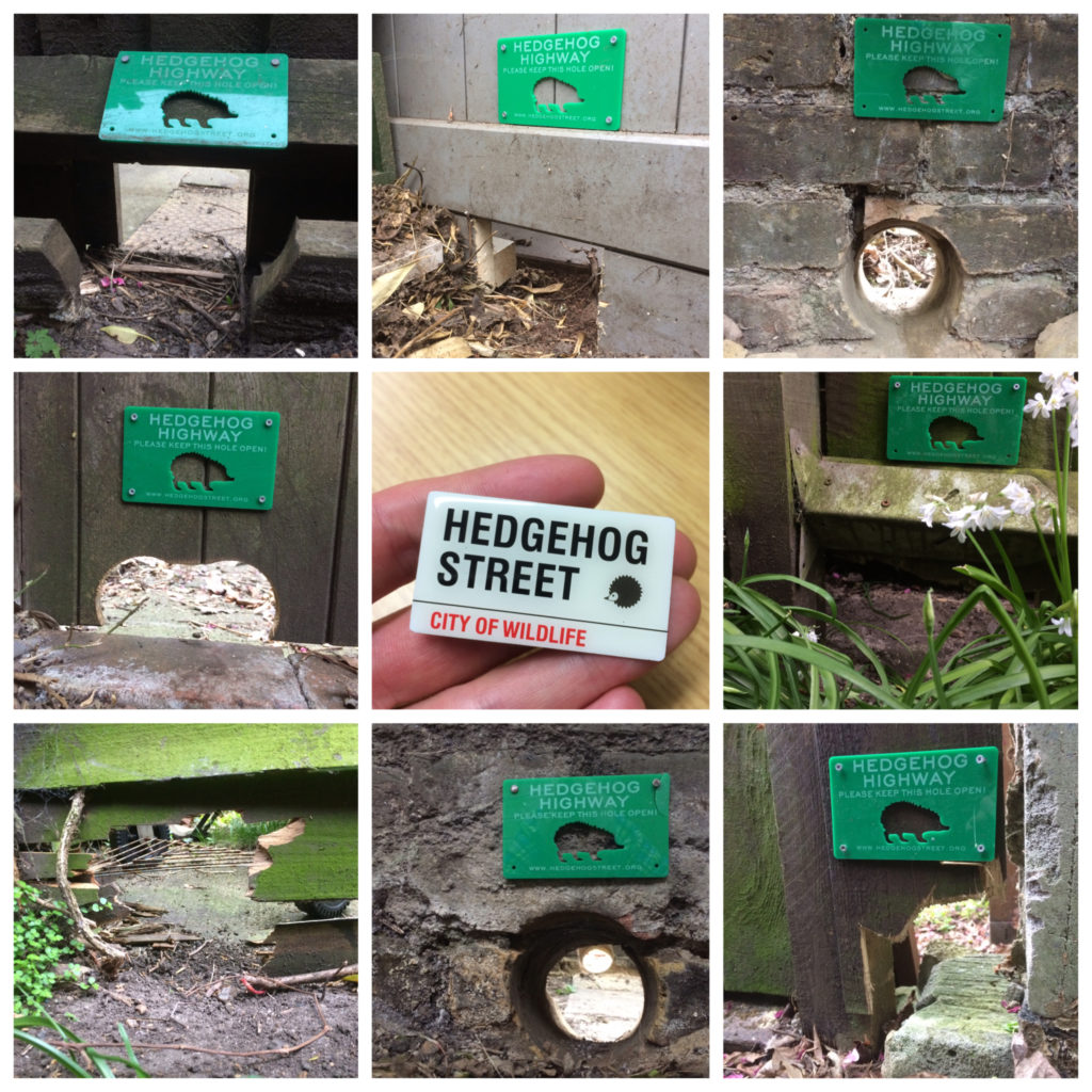 Hedgehog Street encourages people to link their gardens - Hedgehog Highways