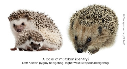 Know your hedgehogs: African Pygmy vs West European