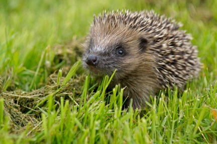 Photo by Hedgehog Champion Liza Griffiths