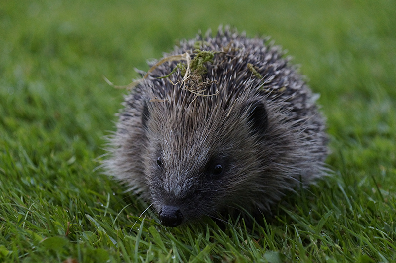 Photo by Hedgehog Champion David Cooper
