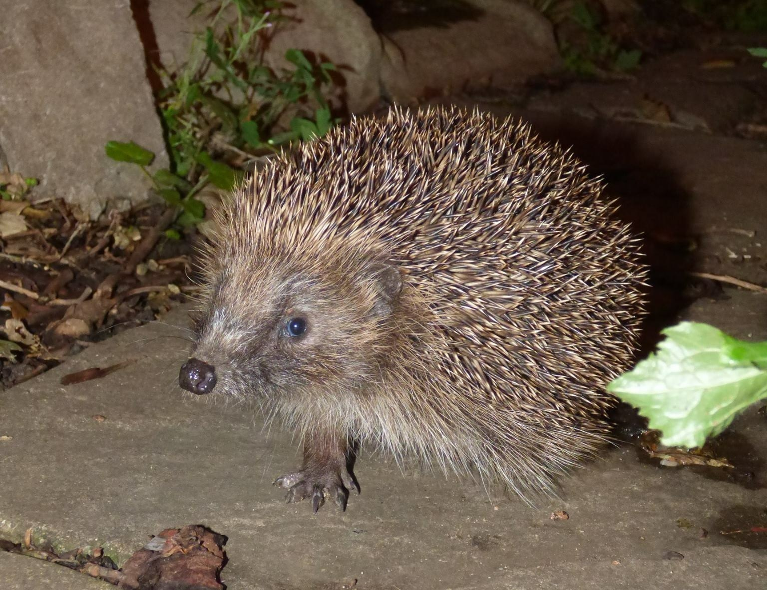 Happy hedgehog snapped by Joanne Edwards, Hedgehog Champion